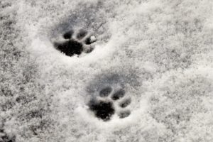 Cat tracks in snow
