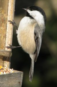 Black-capped chickadee - The Empty Birdfeeder