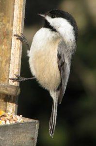 Black-capped chickadee - The Empty Birdfeeder