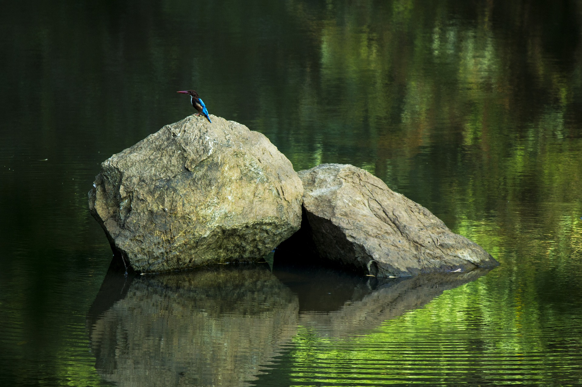 kingfisher and calm water