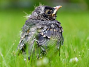Nestled in the grass was a baby robin.