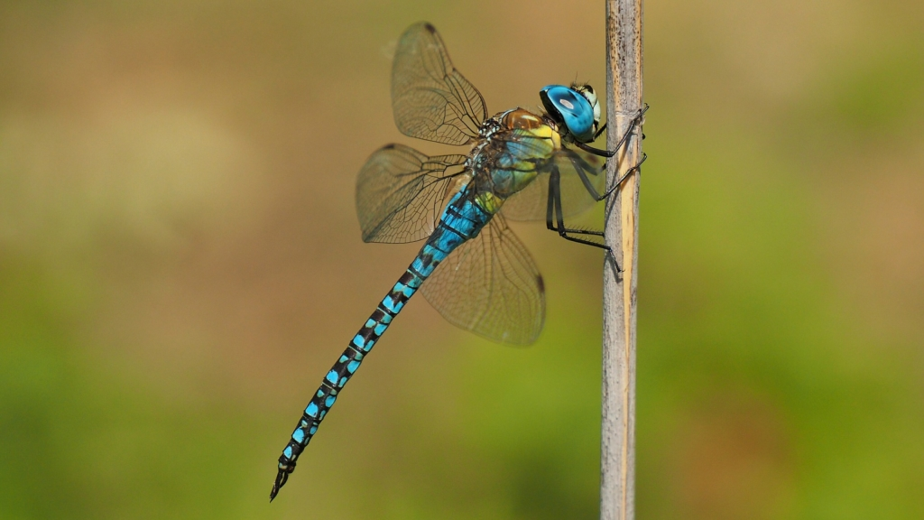 dragonfly perched on twig
